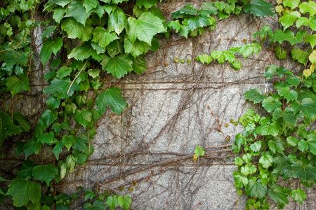 ivy wall: Green Boston Ivy Creeps Up Old Curved Stone Wall Stock Photo