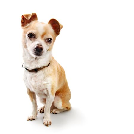 perky: Small Chihuahua Poses on White Background