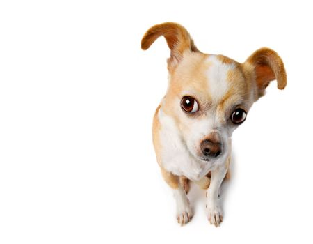 snoop: Chihuahua lifts ear to eavesdrop Stock Photo