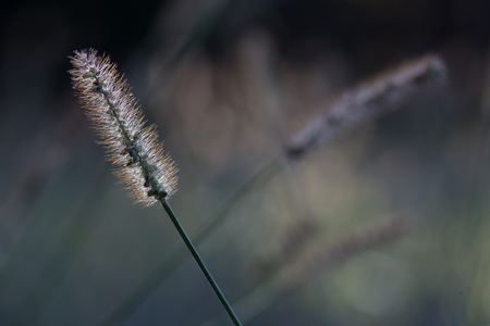 Glowing backlit grass seed head blowing in the wind, other grass stems are de-focused in the background