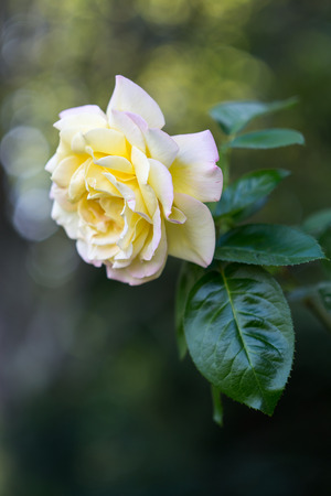 Peach colored rose with green leaves with  bokeh highlights