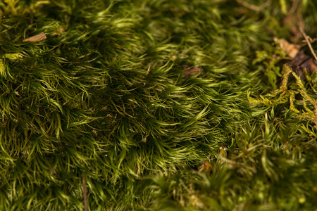 hair tuft: Close up of green moss on the ground