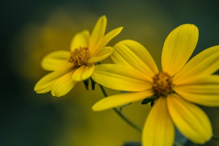 Two adjacent opened yellow Biden flowers with green stem and de-focused yellow and green background
