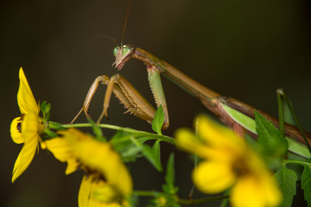 Side view of a praying mantis on the stem of a yellow Biden flower Stock Photo