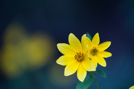 Two adjacent opened yellow Biden flowers with water drops, green leaves, and green, yellow, and blue background