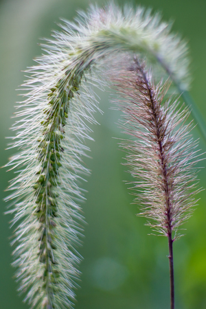 Close up of a pair of grass seed heads, one green and curled downward