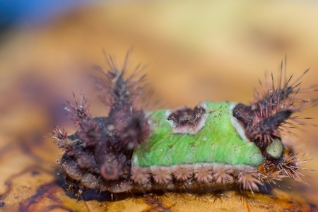 Saddleback Caterpillar with green and brown back on brown leaf