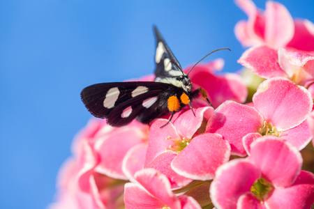 eight legs: Eight Spotted Forrester butterfly with white spots and orange legs on a pink kalenchoe flower with blue sky Stock Photo