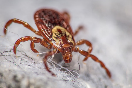 dog tick: Close up of a dog tick on a gray cloth Stock Photo