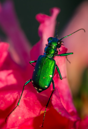 Six spotted tiger beetle with metallic green body on pink flower petals