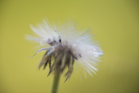 Dandelion Seed Head with water drops