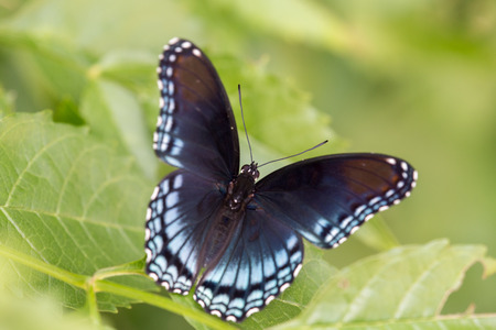 Top view of a Red Spotted Purple butterfly with wings open