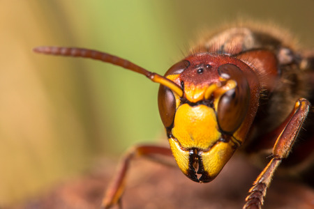 mouth close up: Close up of a hornets face showing eyes, mouth, and antennae