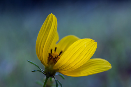 Small yellow flower with textured petals with a gap showing the small yellow flower with textured petals with a gap showing the center of the flower with mightylinksfo