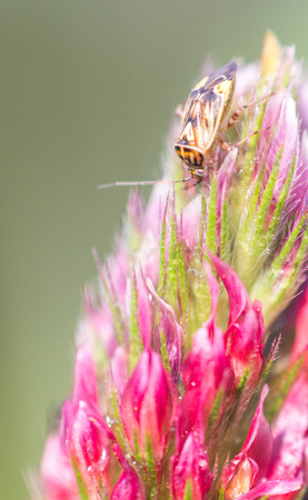 red clover: Tan, brown, and black bug on a red and pink Crimson Clover bloom