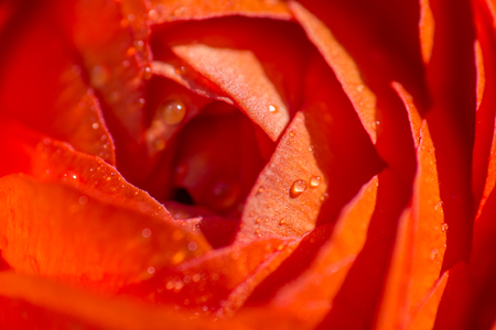 Close up of the center of an orange Persian Buttercup flower with drops of water
