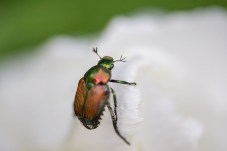 Japanese beetle on the petals of a white Rose of Sharon