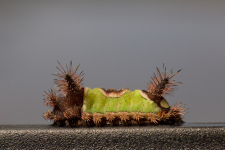 Saddleback Caterpillar with green and brown back on black surface Stock Photo
