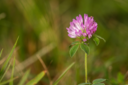 red clover: Purple petals of a red clover bloom on a green stem in the grass Stock Photo
