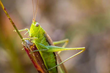 Green grasshopper with brown back on reddish brown blade of grass in the Fall Stock Photo