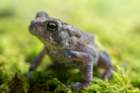 Small toad looking upward on green moss Stock Photo