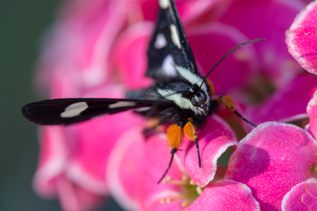 eight legs: Eight Spotted Forrester butterfly with white spots and orange legs on a pink kalenchoe flower Stock Photo