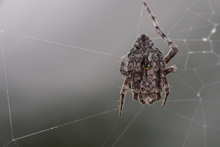 Close up of a spider in a defensive curled posture in its web
