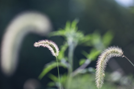 Curled grass seed heads that are backlight and glowing Stock Photo
