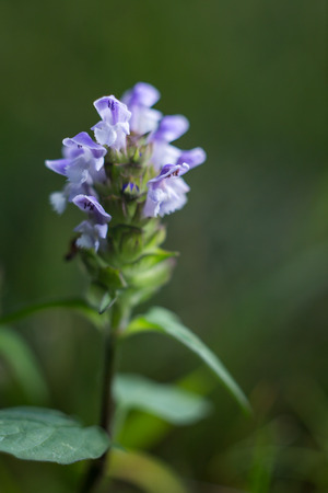 Blooming self heal herb with purple and white flowers on a green blooming self heal herb with purple and white flowers on a green stem with green leaves mightylinksfo