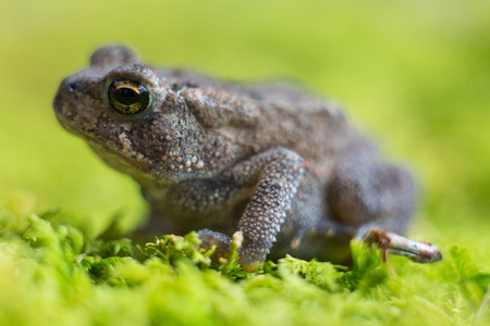 side shot: Side shot of small toad on green moss
