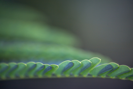 Rows of compound leaves with lowest in focus and the rest de-focused Stock fotó