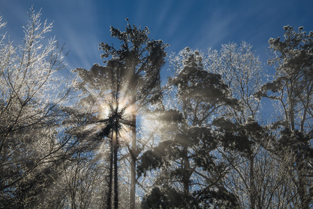 ice covered: Ice covered forest backlit by sun with flare and rays of light from evaporating ice