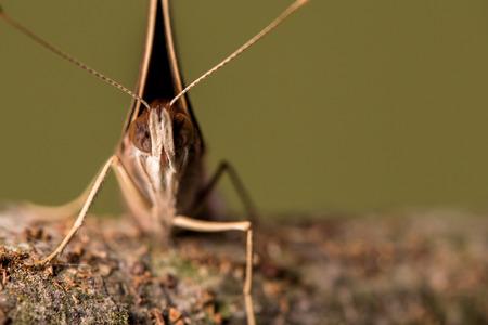 Volto sulla vista ravvicinata di una farfalla comune Buckeye che mostra gli occhi e le antenne, con le ali completamente chiuse Archivio Fotografico - 69967397