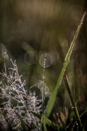 Heavily dewed grass and seed fluff with bokeh highlights