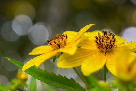 Two adjacent opened yellow Biden flowers with green leaves and bokeh highlights