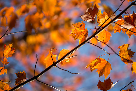 Looking up into a tree or orange leaves in front of a blue sky, one branch is in focused and others are de-focused