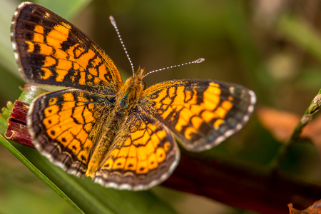 Back of Pearl Crescent butterfly with wings open