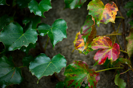 gules: Ivy leaves
