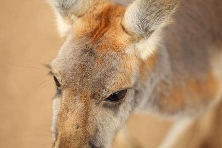 Extreme closeup of red and grey kangaroo's big brown eyes.