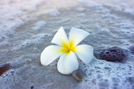 Temple tree flower lying on the beach Stock Photo - 4483476