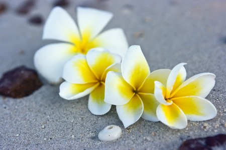 Temple tree flowers lying on the beach Stock Photo - 4483474