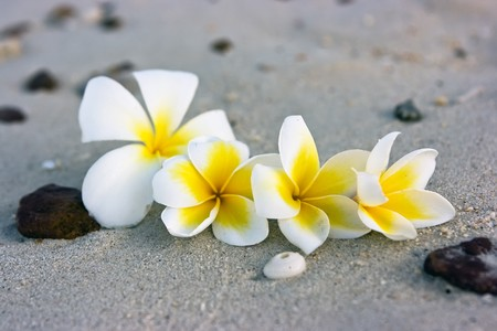 Temple tree flowers lying on the beach Stock Photo - 4483479