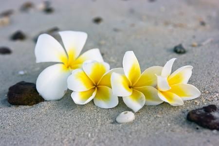 Temple tree flowers lying on the beach Stock Photo - 4483479