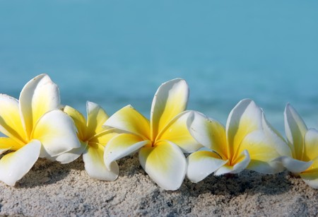 Temple tree flowers on the summer beach Stock Photo - 4483323