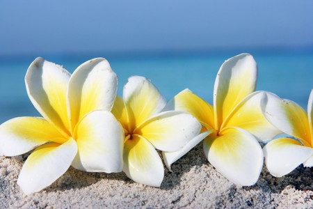 Temple tree flowers on the summer beach Stock Photo - 4483487