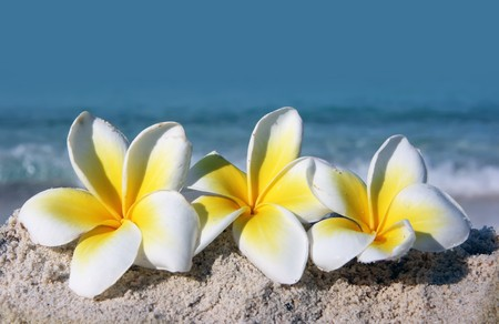 Temple tree flowers lying on the beach Stock Photo - 4483328