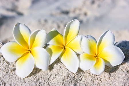 Temple tree flowers on the summer beach photo