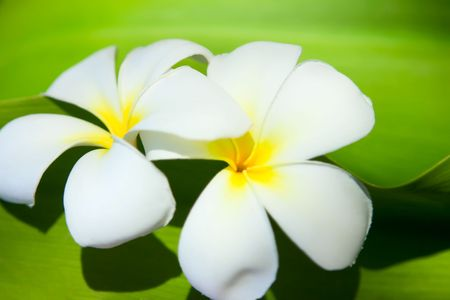 A background with frangipani flowers and leaves