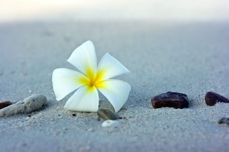 Temple tree flower lying on the beach photo