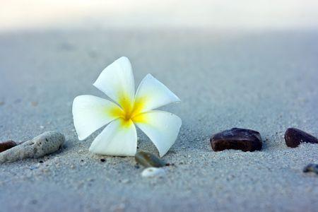 kamboja: Temple tree flower lying on the beach